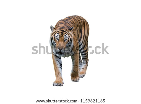Tiger Roaring isolated on white background. #1159621165