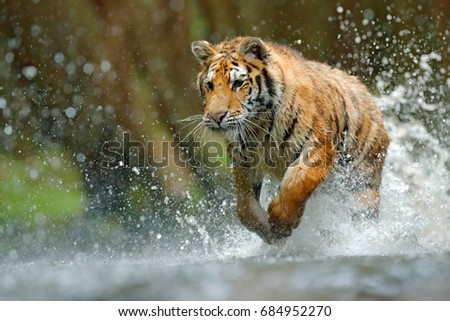 Tiger running in the river. Dangerous animal, taiga in Russia. Animal in the forest stream, splashing water. Wildlife scene with wild cat in nature habitat. #684952270