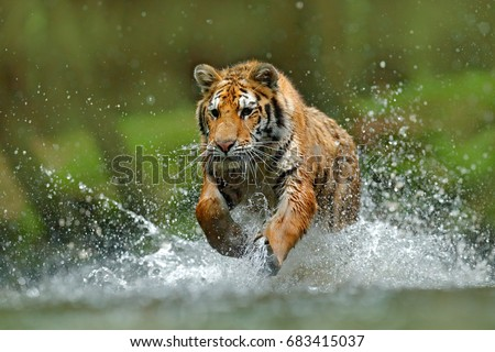 Tiger running in the river. Dangerous animal, taiga in Russia. Animal in the forest stream. Tiger with splash of the water. #683415037