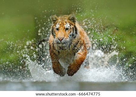 Tiger running in the water. Dangerous animal, taiga in Russia. Animal in the forest stream, splashing water. Action wildlife scene with wild cat in nature habitat. #666474775