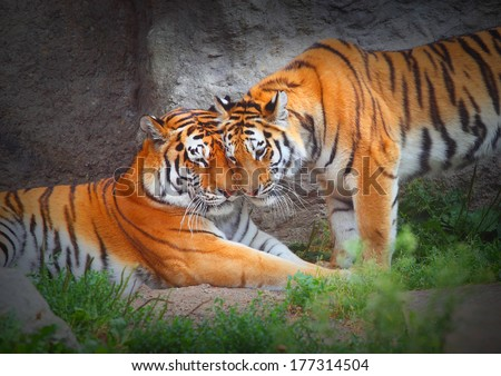 Tiger's couple. Love in nature.  #177314504