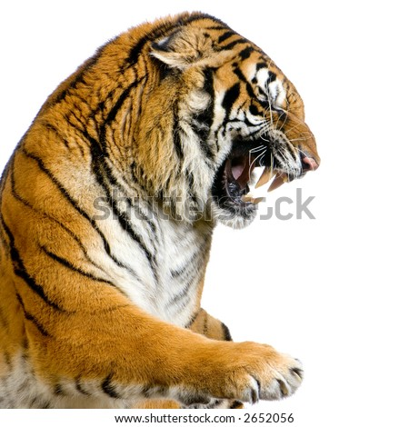 Tiger's Snarling in front of a white background. All my pictures are taken in a photo studio