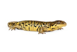 Tiger Salamander crawling to the side on a white background