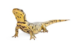 Tiger Salamander on a white background lifting head up