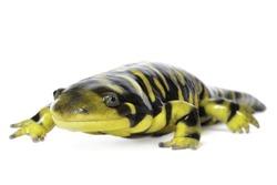tiger salamander on white