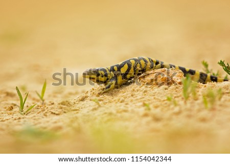 Tiger salamander or eastern tiger salamander (Ambystoma tigrinum) is a North American species of mole salamander