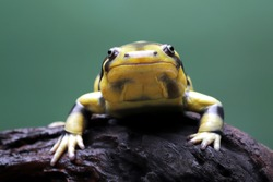 Tiger Salamander perched on a tree branch.