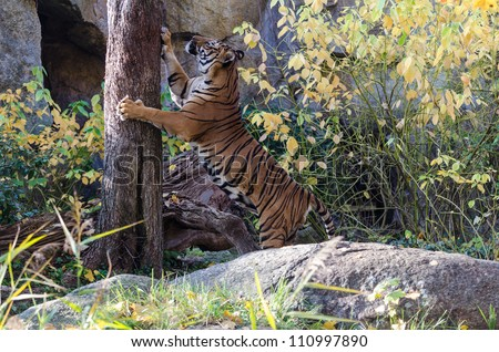 Tiger scratches a tree