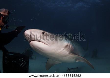 Tiger Shark #653316262