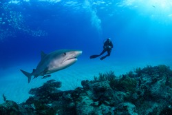 Tiger Shark and Scuba Diver in Blue Waters of Bahamas