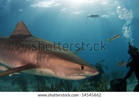 Tiger shark being attracted to divers during an eco tourism session
