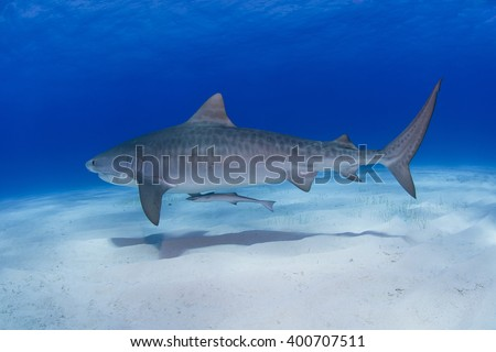 Tiger shark close to the ground in clear blue water with shadow on the sand. #400707511
