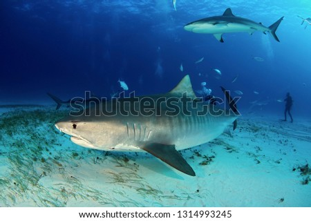 Tiger Shark (Galeocerdo cuvier) Swimming by Closely, with Caribbean Reef Shark above. Tiger Beach, Bahamas