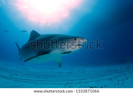 Tiger Shark (Galeocerdo cuvier) Swimming by Closely, with Sun Bursts through the Surface. Tiger Beach, Bahamas