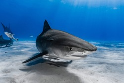 Tiger Shark (Galeocerdo cuvier) swimming over the reef