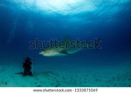 Tiger Shark (Galeocerdo cuvier). Towards a Diver Sitting on the Sand Bottom. Tiger Beach, Bahamas