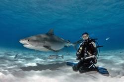 Tiger Shark interacting with Scuba Diver on Tiger Beach Bahamas