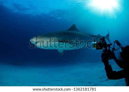 Tiger Shark over Sand Bottom, with Sun Bursts through the Surface. Tiger Beach, Bahamas