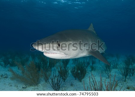 Tiger shark swims in for a closer look in the Bahamas.