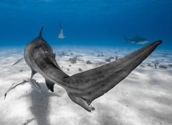 Tiger shark tale showing great detail of skin pattern