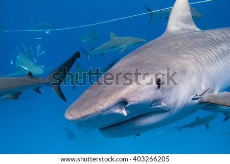 Tiger shark with lots of caribbean reef sharks close to the surface. #403266205