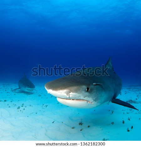 Tiger Sharks Approaching over Sand Bottom, One very close. Tiger Beach, Bahamas