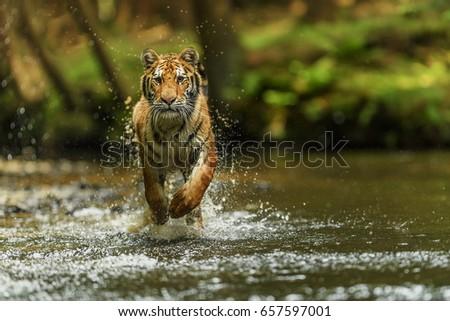 tiger siberian  #657597001