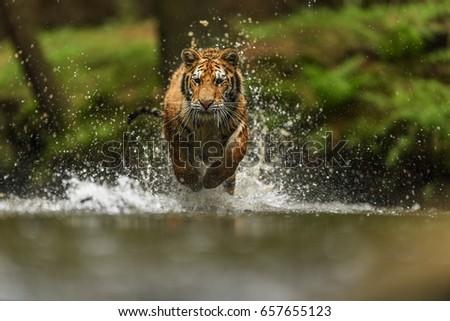 tiger siberian #657655123