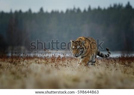 tiger, siberian tiger\n