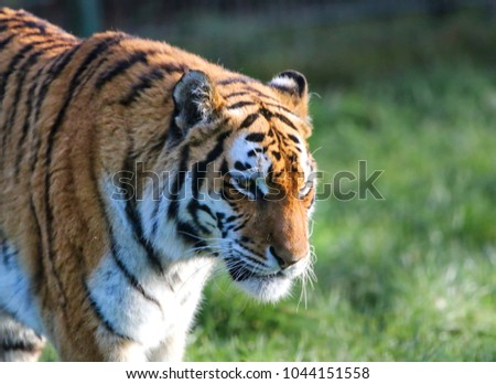 Tiger side portrait #1044151558