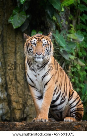 Tiger sit in deep wild, animal and jungle concept. #459691075