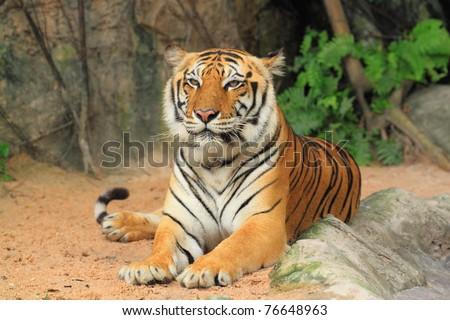 Tiger sitting.