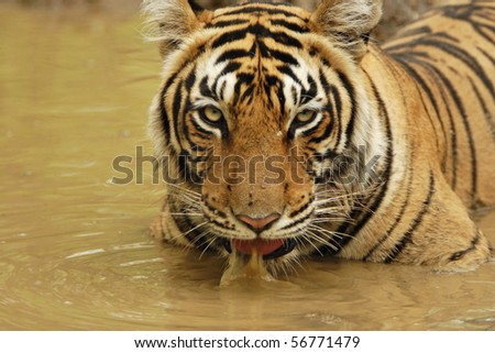 Tiger sitting and drinking water in a water hole in Ranthambhore