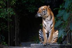Tiger sitting and staring at something.