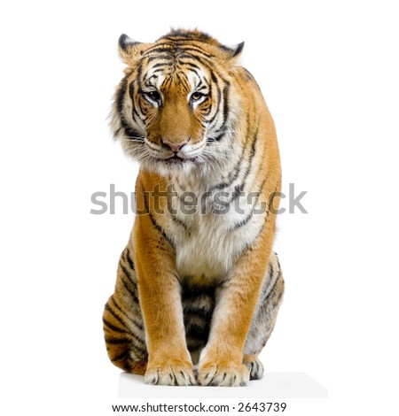 Tiger sitting in front of a white background All my pictures are taken in a photo studio