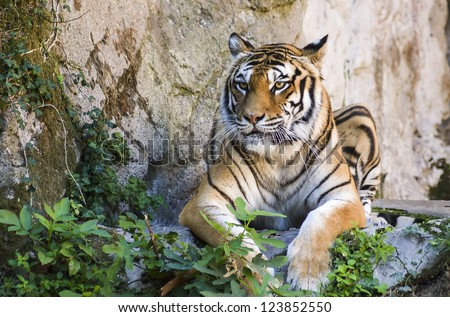 tiger sitting on the ground