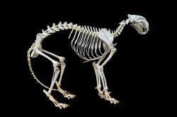 Tiger skeleton. Isolated on black background, with clipping path included.