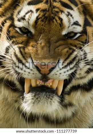 Tiger Smile - stock photo