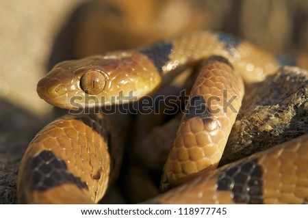 Tiger snake / Telescopus beetzi