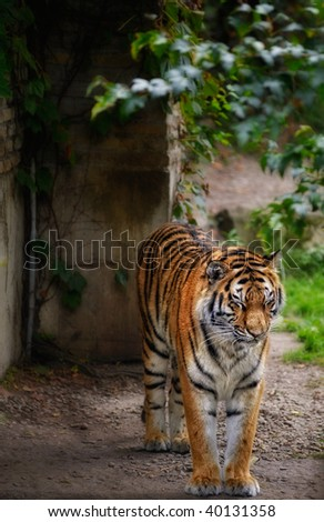 Tiger standing alone in the wild