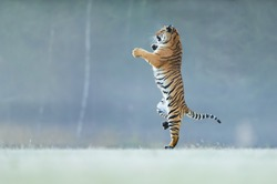 Tiger standing on back paws. Not typicall pose for big cat. Dancing tiger. Amur tiger. Panthera tigris altaica.