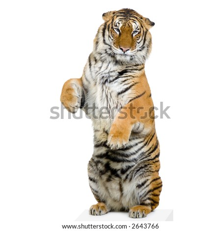 Tiger standing up lying down in front of a white background. All my pictures are taken in a photo studio