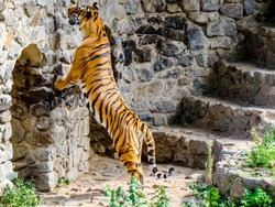 Tiger stands on hind legs, sharpens claws on stones