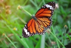 tiger striped beautiful butterfly on green grass sunlight