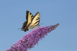 Tiger swallowtail butterfly, Papilio glaucus, on a purple butterfly bush, Buddleja davidii, an invasive species, at the Donnelly Preserve in South Windsor, Connecticut.