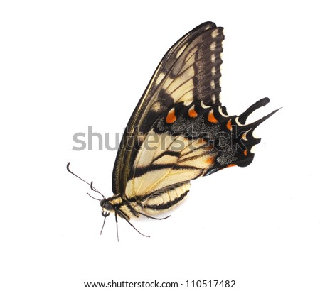 Tiger Swallowtail (Papilio glaucus) from North America, female specimen sitting on a white surface