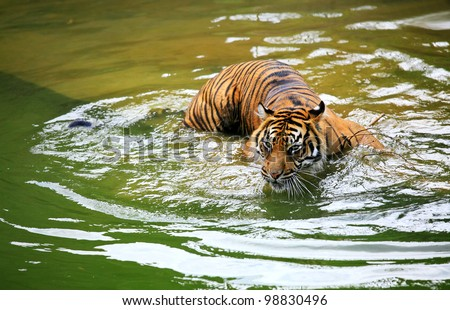 tiger swimming in a green water