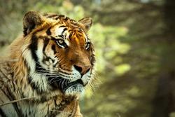 Tiger. Tiger head Tiger look. Big cat. Wild animal. Africa. Safari. Wild nature. Lying tiger.