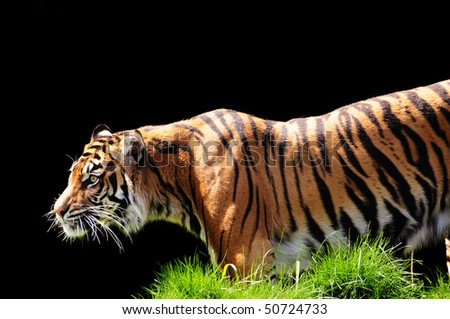 Tiger tracking and approaching its prey with stealth