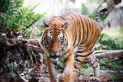 tiger walking in a jungle